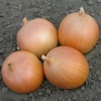 Лук севок Сэттон 1 кг (Голландия)