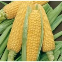 Кукуруза сахарная GSS8529 F1 100 000 шт (Syngenta)