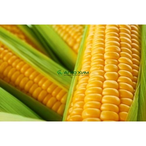 Кукуруза сахарная Спирит F1 100 000 шт (Syngenta)